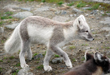 Arctic fox stock by GrayeyesStock