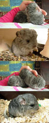 Little chinchillas-bigger ones by LadyCzarna