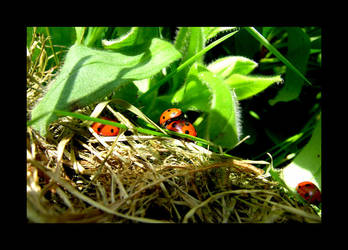 Ladybirds by photocell