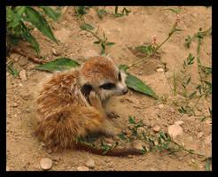 Baby Meerkat by MirachRavaia