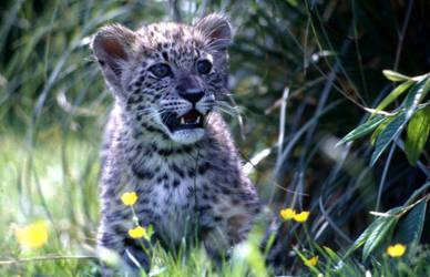 Snow Leopard Cub 05 by crhino