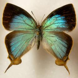 Butterfly Specimen 3 by chamberstock