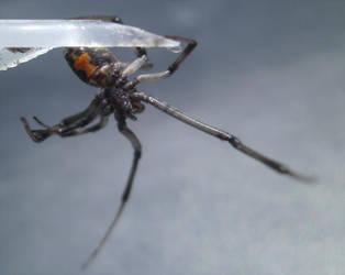 Brown Widow by Bugs-R-Us