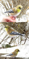 American goldfinch (winter plumage) by Riesz-Aurea
