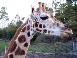 .:Stock - giraffe:. by guavon-stock