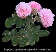 pink roses by margarita-morrigan