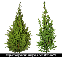 Cupressus by margarita-morrigan