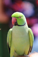 Rose-ringed Parakeet by NerdyNuthatch