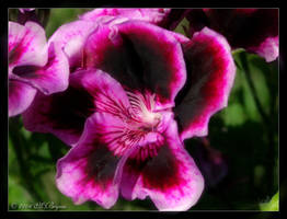 Violet... by faithslayer