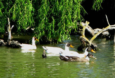 Ducks in a pond by Earthmagic