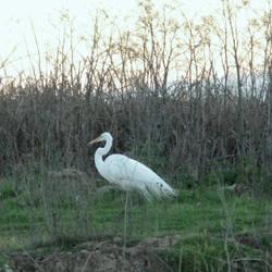 Great Egret by Earthmagic
