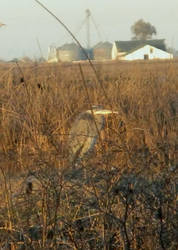 Great Blue Heron in the fields by Earthmagic