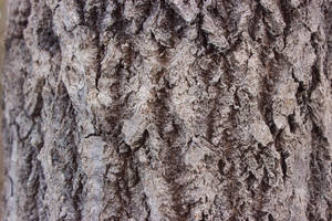 texture 66 aspen tree by i-see-faces