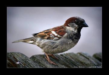 Sparrow by Taragon