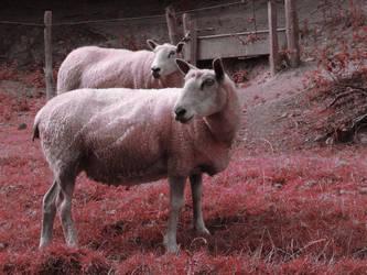Pink sheep by Itsadequate