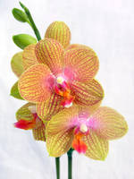Orchid by riviera2008