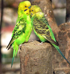 Budgie father and son by riviera2008