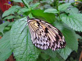Rice Paper Butterfly by craftywench-nh