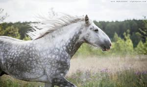 Jimbo, Shire stallion by Nightmare-v
