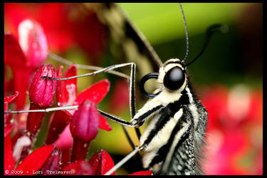 Citrus Swallowtail Butterfly 2 by Vamppy