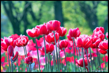 Red Tulips by Vamppy