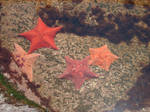 Starfish by KnK-Art