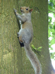 Grey Squirrel by mwswjww47