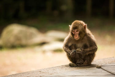 Japanese Macaque by TimGrey