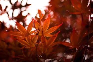 Japaense Maple by TimGrey