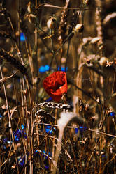 lonely poppy by LindaMarieAnson