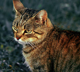 tabby by LindaMarieAnson