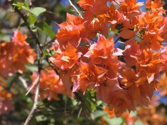 Orange Rosalines by Vinisocram