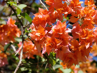 Orange Rosalines Vivid by Vinisocram