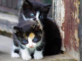 kittens by ameralie