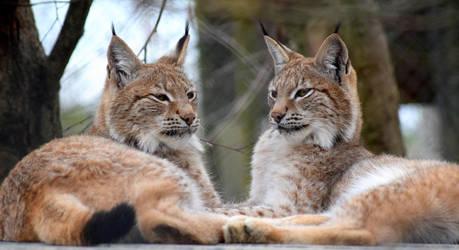 Eurasian Lynx by CharlyJade