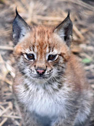 Eurasian Lynx Kitten by CharlyJade