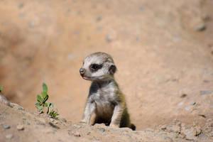 Meerkat Pup by CharlyJade