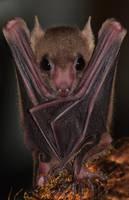 Egyptian Fruit Bat by CharlyJade