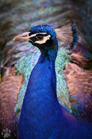 Indian Peacock by CharlyJade