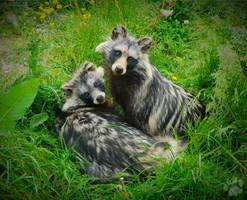 Raccoon Dogs by CharlyJade