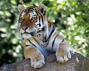 Amur Tiger by CharlyJade