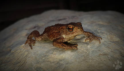 Common Toad by CharlyJade