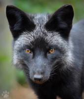 Silver Fox by CharlyJade