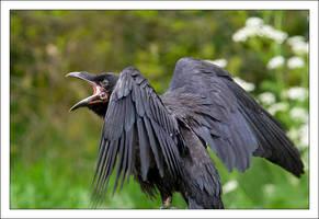 Raven by Vioto2