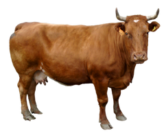 Stock Cow Number 2 by PomPrint