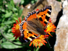 Tortoiseshell Butterfly by PomPrint