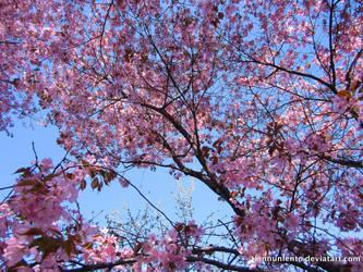 Cherry blossom wallpaper by Linnunlento