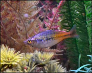 Boesemani Rainbowfish by Laurie4000