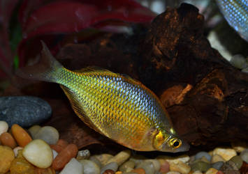 Emerald Rainbowfish by Laurie4000