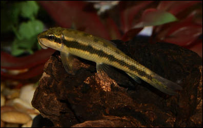 Chinese Algae Eater by Laurie4000